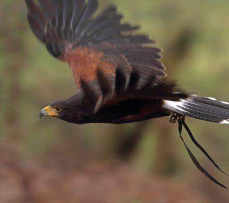 Harris Hawk (Peawee)